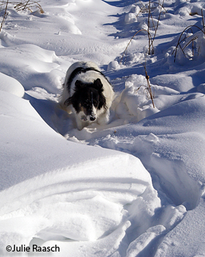 Border collie in deep snow