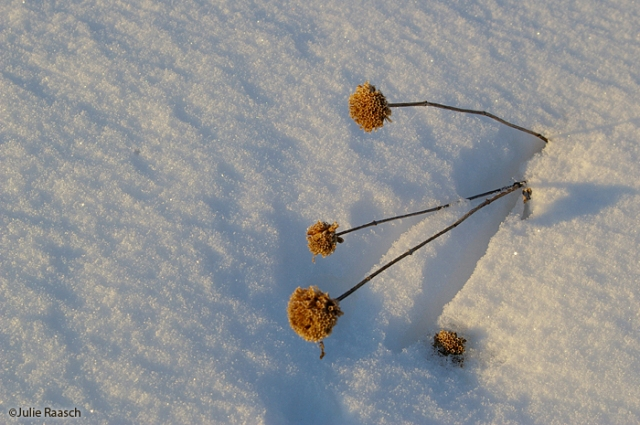 bergamot in snow
