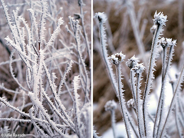 frost covered stems