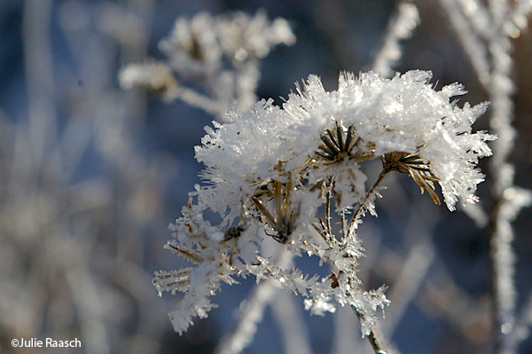 frost covered seed heads