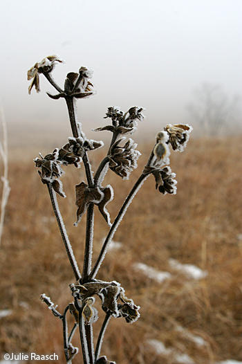 plant covered with frost