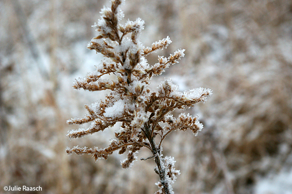 frost covered seed head
